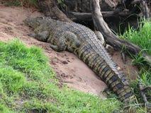 African crocodile Stock Image