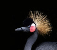 African crown. A wild bird in the zoo with a dark background Stock Images