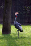 African crown bird Royalty Free Stock Images
