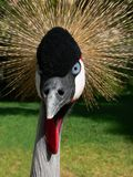 African Crown Crane. An african crown crane with blue eyes looking into the camera intently and proudly stock image