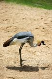 African crown crane side profile Royalty Free Stock Photo