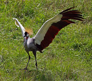African Crowned Crane royalty free stock photography