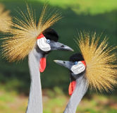 African Crowned Crane Stock Images