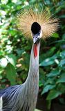 African Crowned Crane. A close up with eye contact of an African Crowned crane stock image