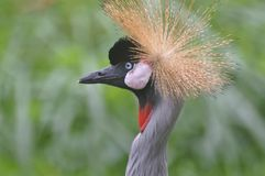 African Crowned Crane. A close-up shot of an African Crowned Crane Stock Photo