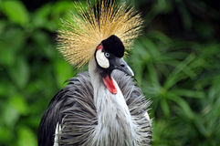 African-Crowned Crane Stock Photos