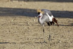 African Crowned Crane Royalty Free Stock Photos