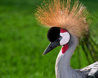 African Crowned Crane (Balearica regulorum) Royalty Free Stock Images