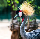 African Crowned Crane Stock Image