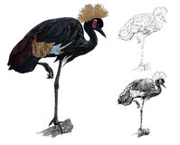 The  of African Crowned Crane bird Stock Photography