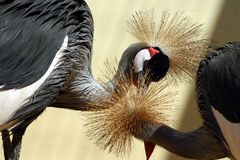African crowned crane, couple. African crowned crane, beloved couple Stock Image