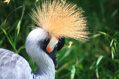 African Crowned Crane crested Royalty Free Stock Image