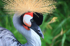 African Crowned Crane crested Stock Photo