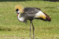 African-Crowned Crane Stock Image