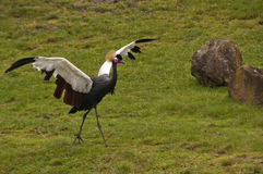 African Crowned Crane Stock Photography