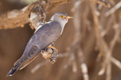 African Cuckoo Royalty Free Stock Photo