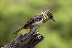 African dÒ�arnaudÒ�s barbet Stock Photos