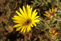 African Daisie. African daisy: The native species has pearly white flowers centered with steel-blue and encircled with a narrow, yellow band. The flowers are Stock Images