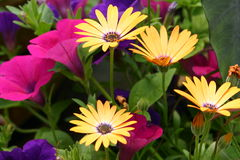 African Daisies Royalty Free Stock Images