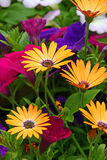 African Daisies Royalty Free Stock Photos