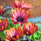 African Daisies Stock Photos