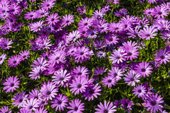 African Daisies close-up. Royalty Free Stock Photos