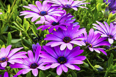 African Daisies close-up. Stock Images