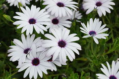 African daisies Royalty Free Stock Image