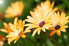 African daisies macro. Royalty Free Stock Photography