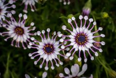 African Daisies viewed from above close-up royalty free stock images