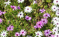 African daisies Royalty Free Stock Photo