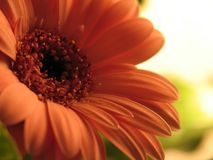 African daisy. An african daisy in full bloom stock image