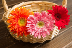 African daisy Stock Images