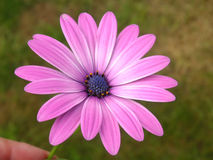 African daisy Stock Image