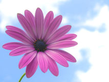 African daisy. Against a blue and white background Stock Photos