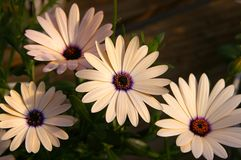 African Daisy. Array of Osteospermum, also known as African Daisy Royalty Free Stock Images
