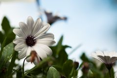 African Daisy Against Blue Sky Royalty Free Stock Photography