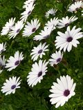 African Daisy Background Royalty Free Stock Photography