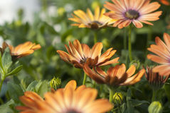 African daisy Royalty Free Stock Photos