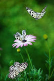 African Daisy with butterflies. Stock Image