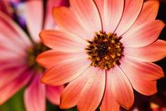 African daisy or Cape marigold Stock Photos
