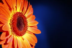 African daisy.  carving. orange Royalty Free Stock Image
