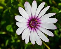 African daisy Royalty Free Stock Photo