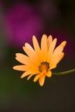 African Daisy Closeup. A beautiful African Daisy -osteospermum Kenai Pineapple Blush - vertical closeup on colorful background royalty free stock photo