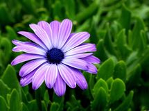 African Daisy. Closeup of Purple African Daisy also called Cape Daisy Stock Images