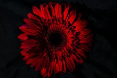African daisy flower on a black background, isolated, close up stock photography