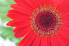 African daisy flower Stock Photography