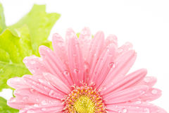 African daisy flower Stock Photo
