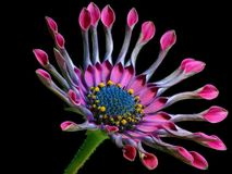 African Daisy, Flower, Nature Royalty Free Stock Image