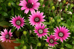 African daisy flowerbed Stock Image